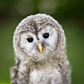 Close up of a baby Tawny Owl (Strix aluco) - PhotoDune Item for Sale