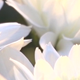 White Flowers in a Greenhouse Floriculture  - VideoHive Item for Sale