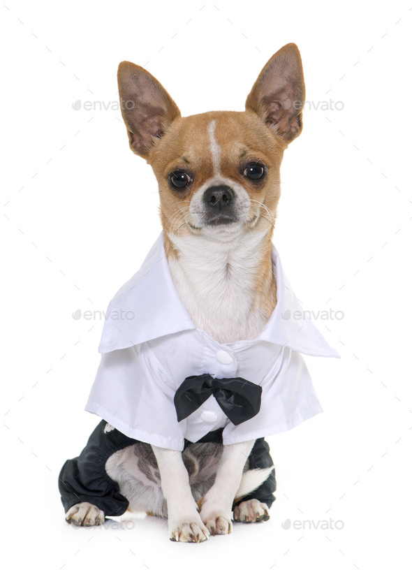 dressed chihuahua in studio - Stock Photo - Images