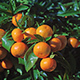 Tangerines on a Tangerine Tree - VideoHive Item for Sale