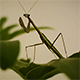 Mantis on a Green Leafs - VideoHive Item for Sale