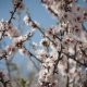Flowering Apricot Tree - VideoHive Item for Sale