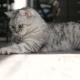 Playful Gray Scottish Cat At Home. . - VideoHive Item for Sale