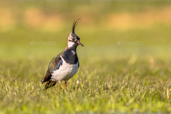 Northern lapwing watching over territory - Stock Photo - Images