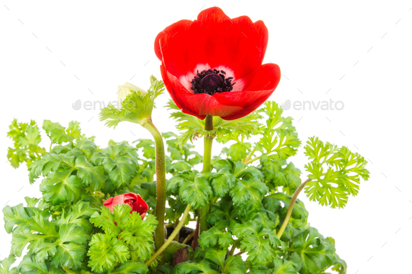Isolated red Anemone flower blossom - Stock Photo - Images