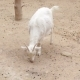 Curly Goat On a Farm  - VideoHive Item for Sale