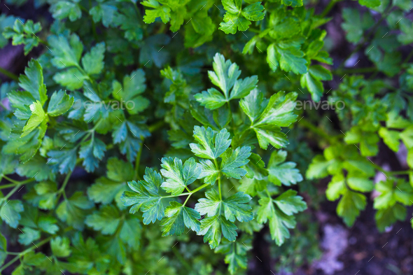Parsley growing in garden - Stock Photo - Images