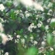 Bee On An Apple Tree Blossom. - VideoHive Item for Sale