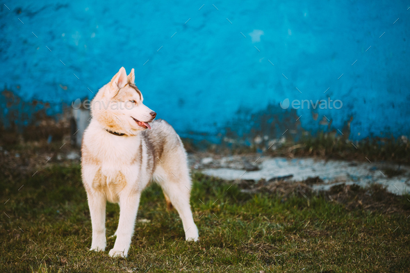 Young Funny White Husky Puppy Dog With Blue Eyes Play Outdoor - Stock Photo - Images