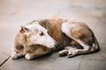 Sighthound dog is lying on street sidewalk - PhotoDune Item for Sale