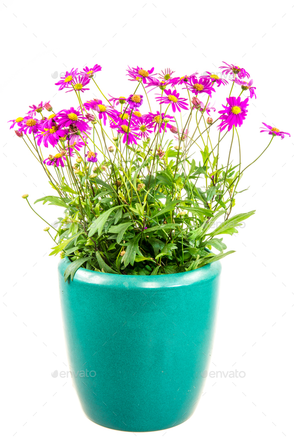 Isolated potted blue dasy flower - Stock Photo - Images