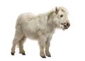Shetland Pony isolated on white