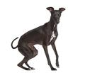 Italian Greyhound isolated on white