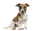 Jack Russell Terrier isolated on white