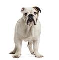 English Bulldog puppy isolated on white