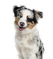 Australian Shepherd puppy isolated on white