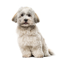 Havanese isolated on white - PhotoDune Item for Sale