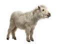 Shetland Pony isolated on white - PhotoDune Item for Sale