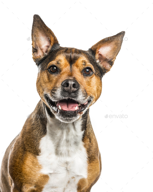 Crossbreed dog isolated on white - Stock Photo - Images