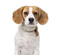 Beagle isolated on white - PhotoDune Item for Sale