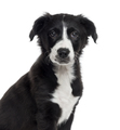 Border Collie puppy isolated on white - PhotoDune Item for Sale