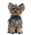 Yorkshire Terrier isolated on white - PhotoDune Item for Sale