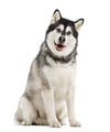 Alaskan Malamute isolated on white - PhotoDune Item for Sale