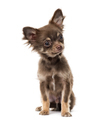 Chihuahua puppy isolated on white - PhotoDune Item for Sale