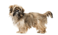 Shih Tzu puppy isolated on white - PhotoDune Item for Sale