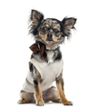 Chihuahua isolated on white