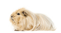 Guinea Pig isolated on white - PhotoDune Item for Sale
