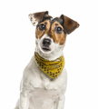 Jack Russell Terrier isolated on white - PhotoDune Item for Sale
