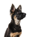 German Shepherd Dog puppy isolated on white - PhotoDune Item for Sale