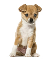 Chihuahua puppy sitting and looking away, isolated on white - PhotoDune Item for Sale