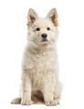 White Swiss Shepherd puppy isolated on white - PhotoDune Item for Sale