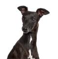 Italian Greyhound isolated on white - PhotoDune Item for Sale