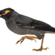 Bank Myna isolated on white - PhotoDune Item for Sale