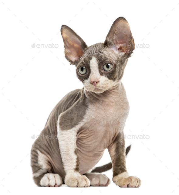 Devon Rex kitten isolated on white - Stock Photo - Images