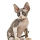 Devon Rex kitten isolated on white - PhotoDune Item for Sale