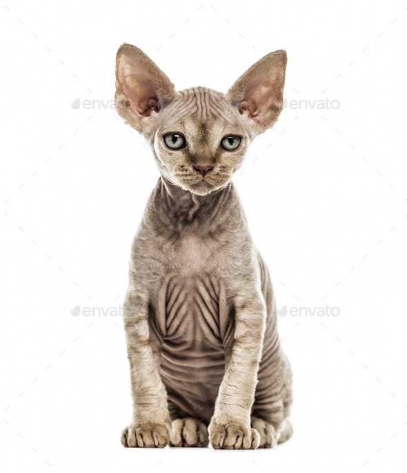 Devon Rex kitten isolated on white - Stock Photo - Images