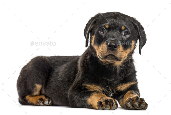 Rottweiler puppy isolated on white - Stock Photo - Images