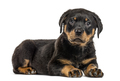 Rottweiler puppy isolated on white - PhotoDune Item for Sale
