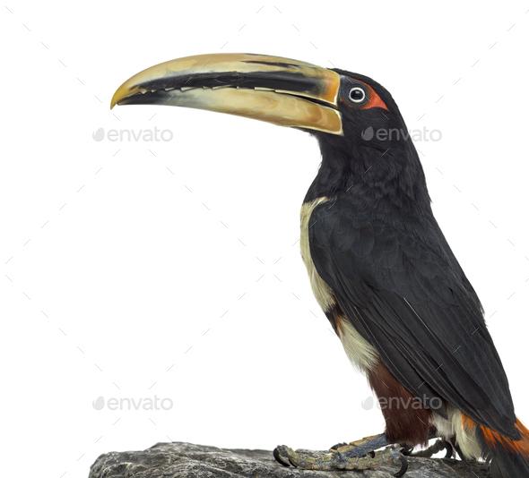 Pale Mandibled Aracari isolated on white - Stock Photo - Images