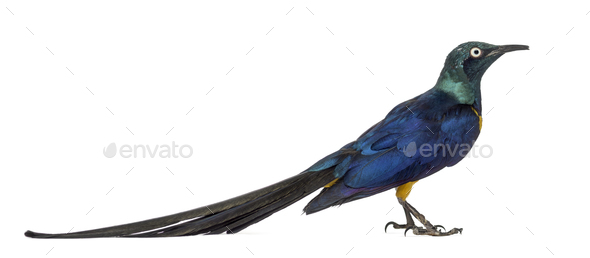 Golden Breasted Starling isolated on white - Stock Photo - Images