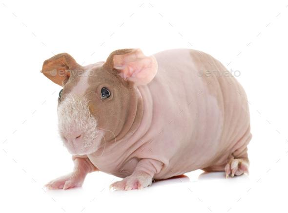 skinny guinea pig - Stock Photo - Images
