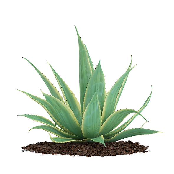 Aloe (Aloe Vera) - 3DOcean Item for Sale