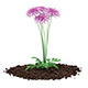 Pink Chrysanthemum Flowers (Argyranthemum frutescens)