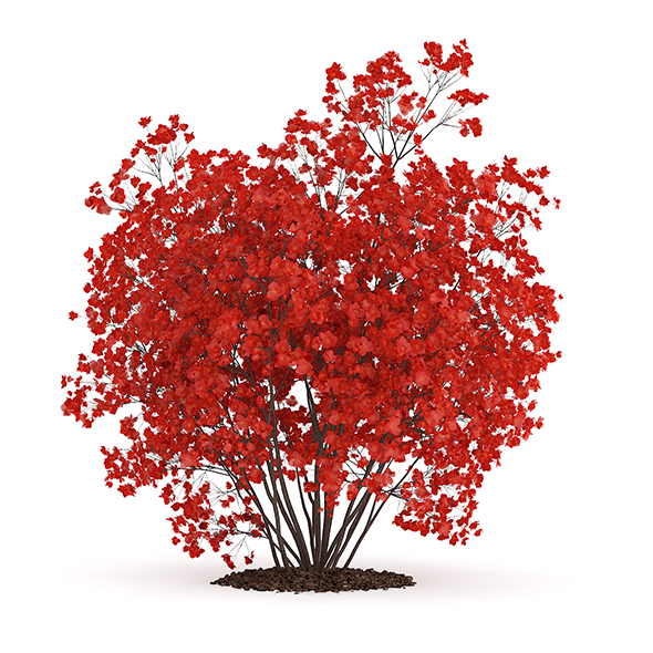 Flowering Quince Plant (Chaenomeles) - 3DOcean Item for Sale