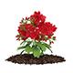 Red Geraniums (Geranium caespitosum)