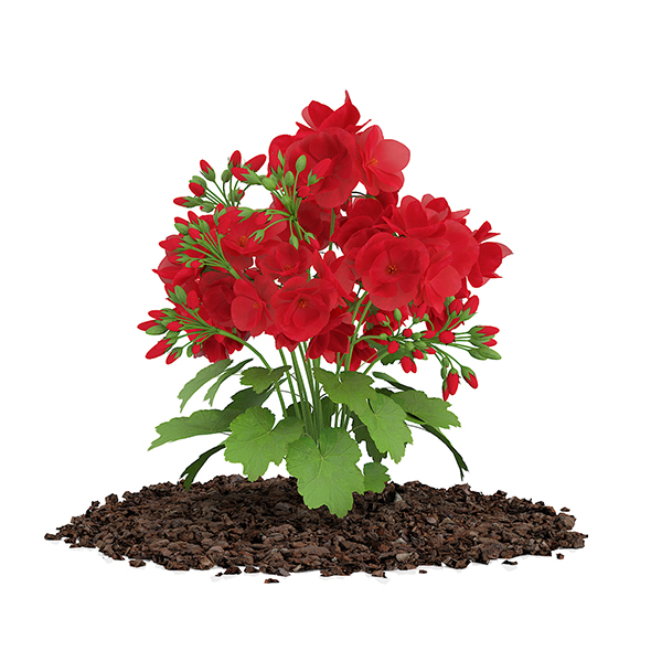 Red Geraniums (Geranium caespitosum) - 3DOcean Item for Sale